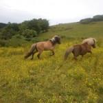 spirit et vanille poneys shetland