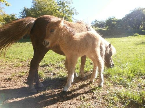 ferme équestre aveyron poneys shetlands