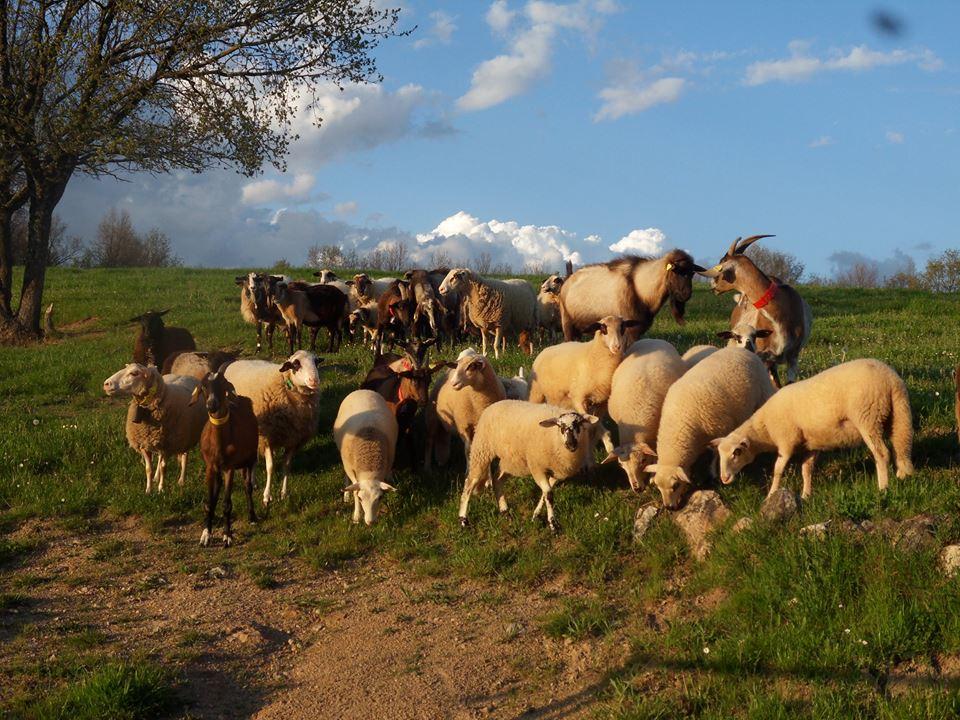 moutons et chèvres ferme équestre daoudou.fr