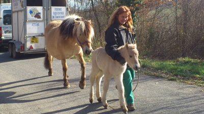 Ferme équestre daoudou élevage de poulains et chevaux fjords shetlands