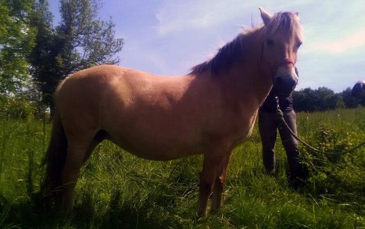 IDEALE DU PAS cheval a vendre aveyron