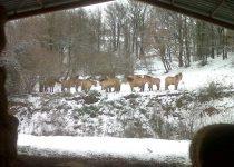 Les chevaux sous la neige